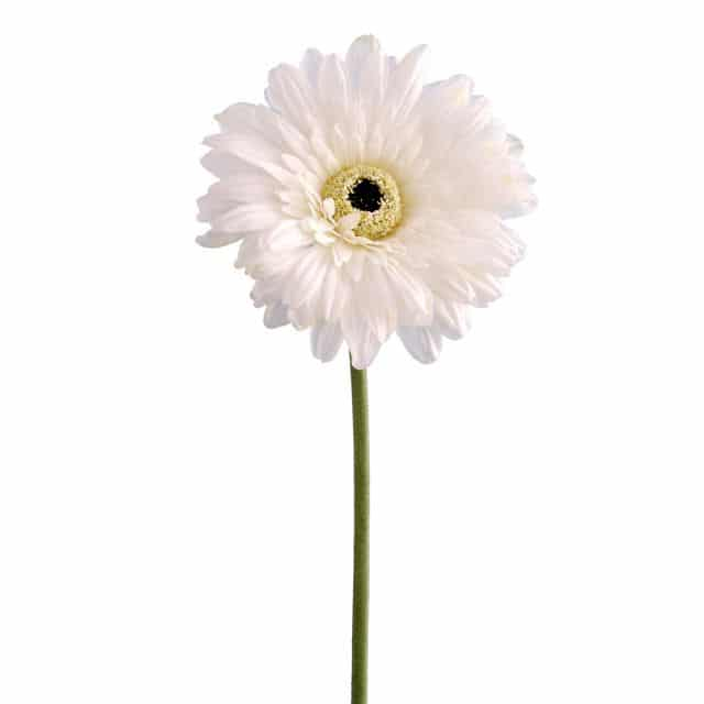 Гербера белая 64 см живое прикосновение
