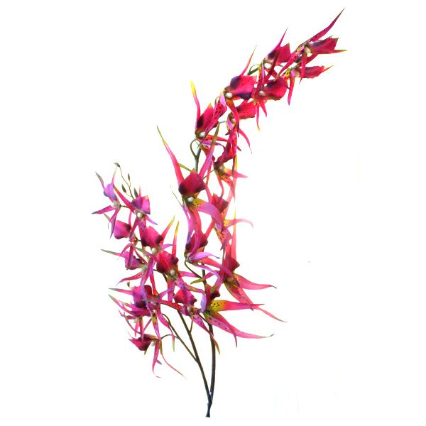 Орхидея Паук красная 138 см